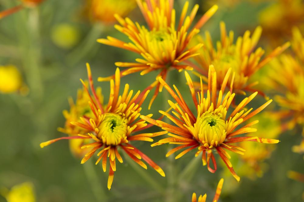 Quill Bloom Mum /Shutterstock