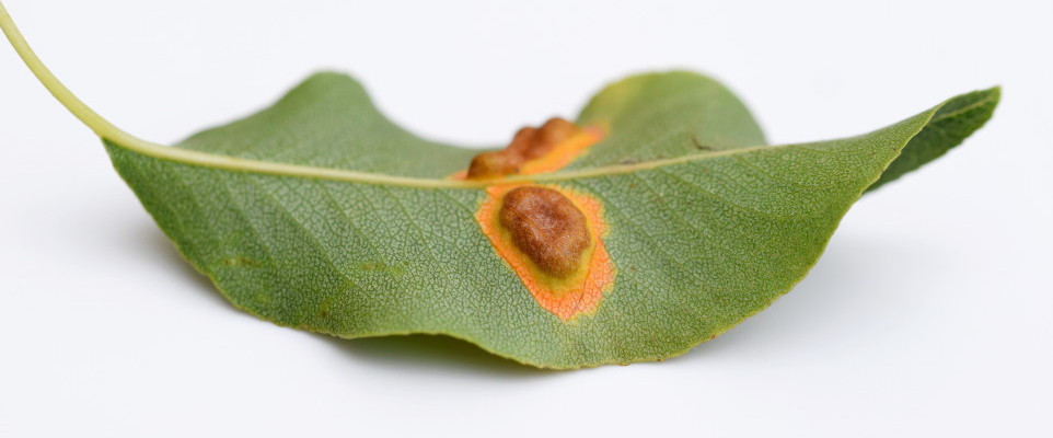 Rust Fungus Shutterstock