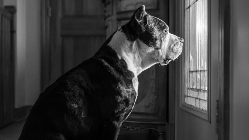 Black & White picture of a dog looking out of a window