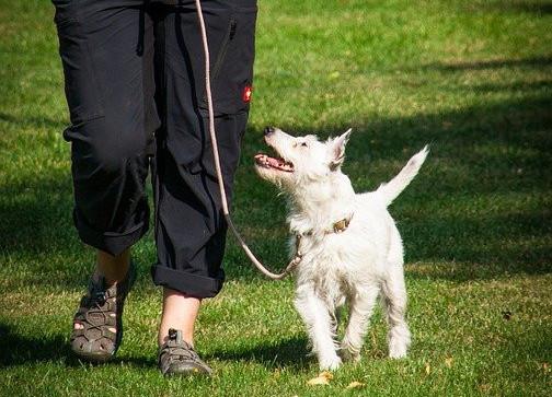 Little white dog walking on a leash