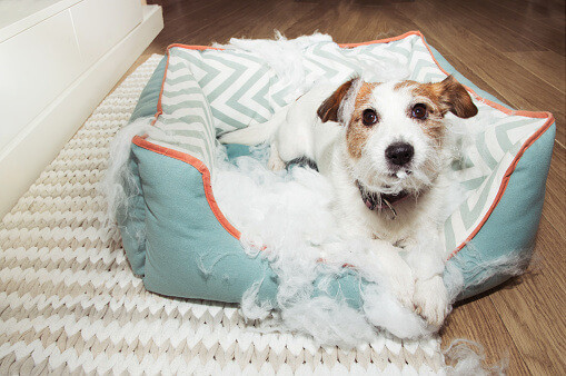 Naughty dog chewed his bed