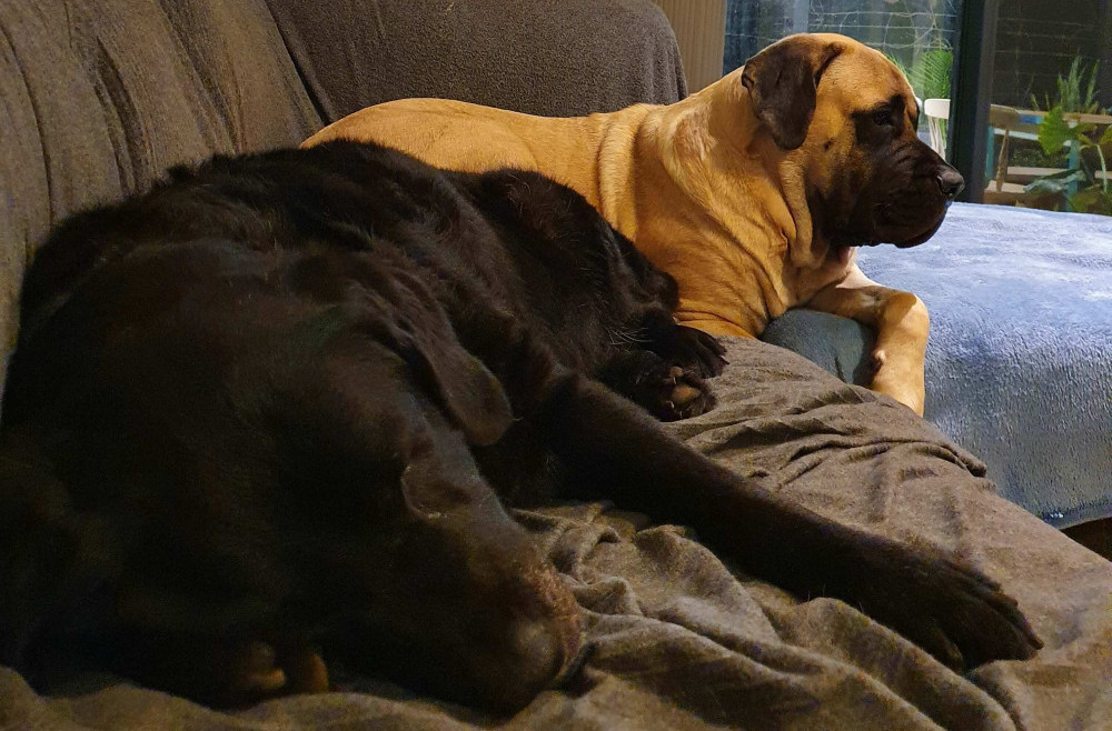 Two dogs on a grey couch