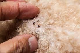 Fleas on a white dog