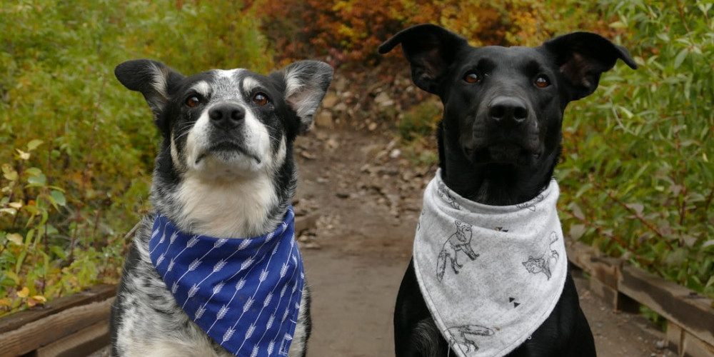 Two dogs with bandanas