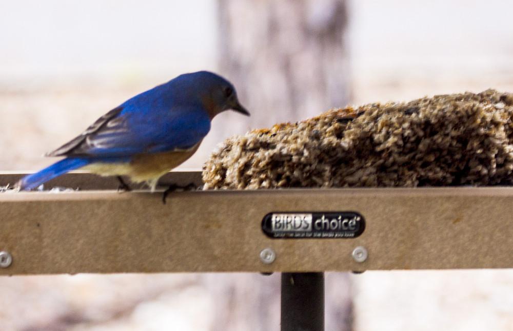 Image of Blue Bird on Feeder