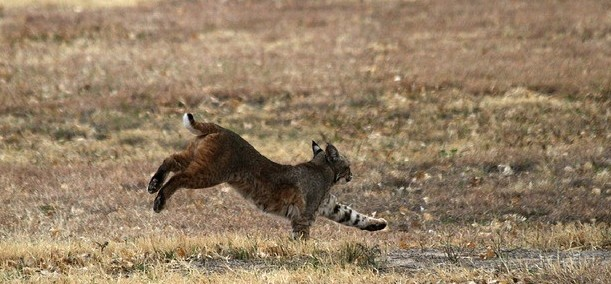 An image of a running bobcat
