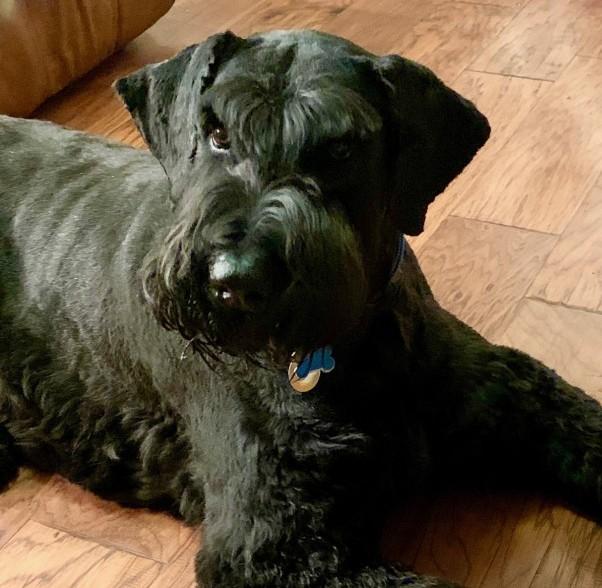 "Image of my giant schnauzer dog ""Bo"""