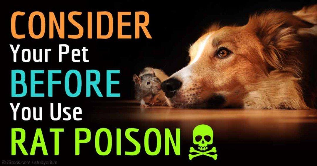 adult eating rat poison