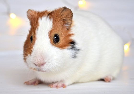 Guineapig as Sell Plasma or Take Part in Medical studies to earn easy