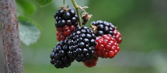 foods that promote healthy digestive system mulberry