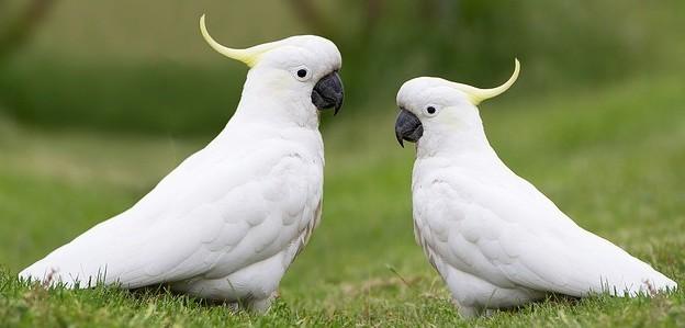 cockatiels vs cockatoos