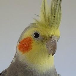 yellow cockatiel birds