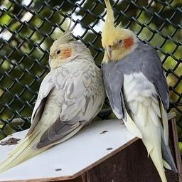 cockatiel genetics