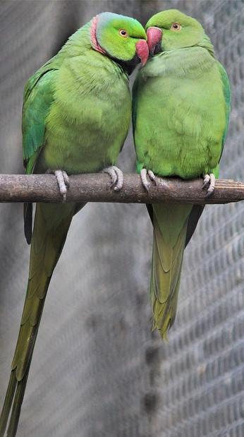 birds for breeding