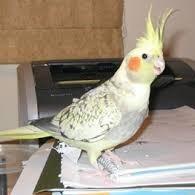 pearl cockatiel