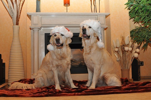Golden Retrievers Christmas 2017