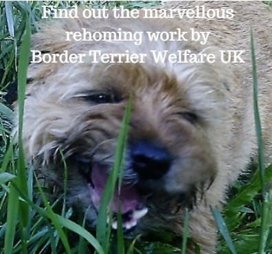 Border Terrier Welfare UK