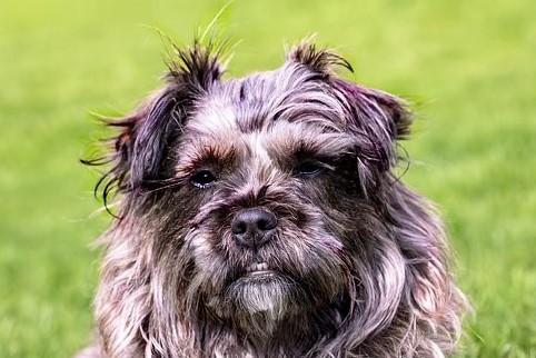 Shaggy Border Terrier