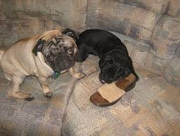 When anxious, dogs can start chewing ... even at shoes!