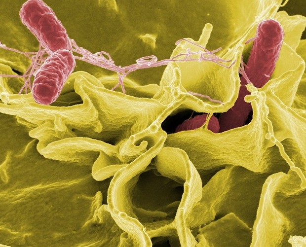 Salmonella, with E-Coli and listeria, are poisonous bacteria typically found in raw meat