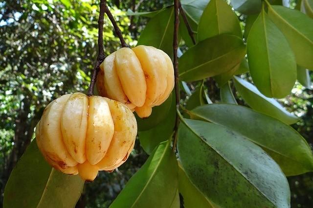 Garcinia Cambogia Fruit on a Trea