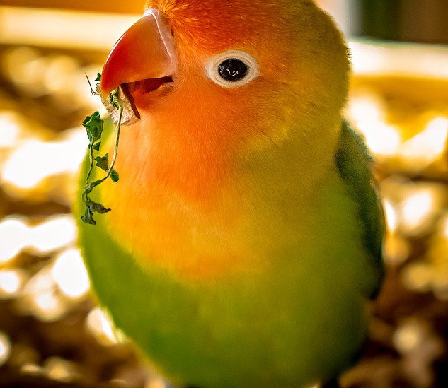 Which birds make good pets | lovebird
