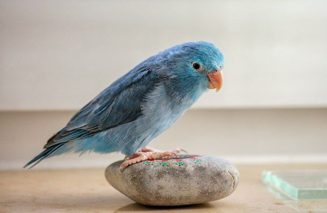 Which birds make good pets | parrotlet