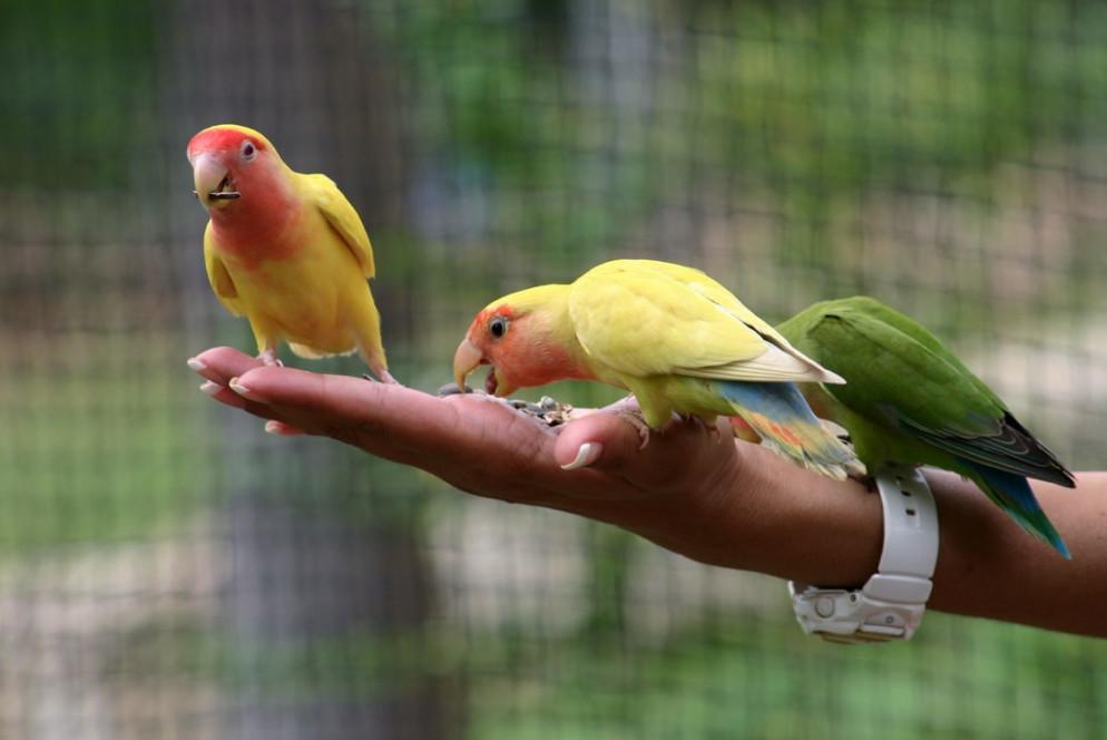 Which birds make good pets | lovebirds