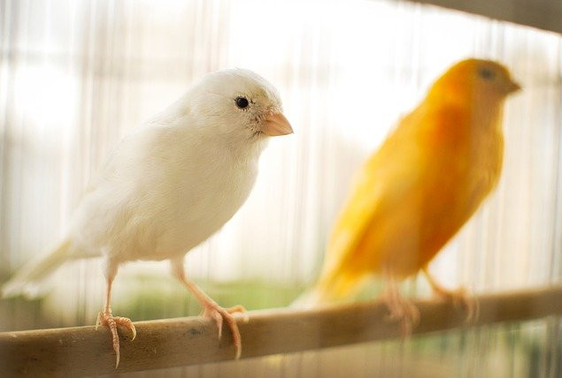 Which birds make good pets | canary