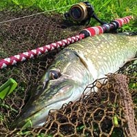 A Pike laying on a landing net.