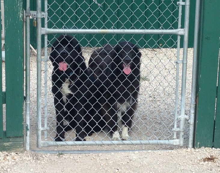 Black Newfoundland dog and Black Retriever together behind a gate