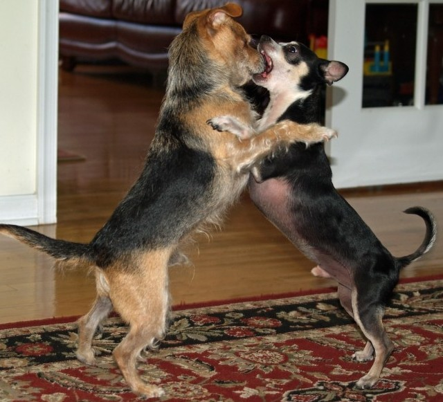 two terrier mix dogs play fighting by standing on their hind legs
