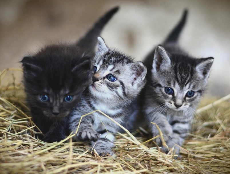 How Long Are Cats Pregnant Common Curiosities
