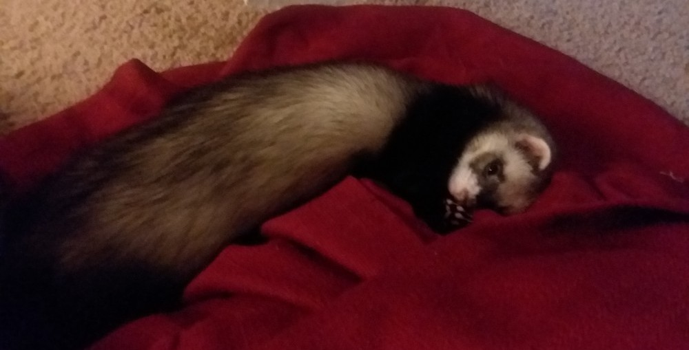Ferrets are quiet and sleep up to 18 hours a day