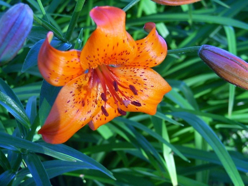 Lily-Flower | Sharon (Art & Photograph)