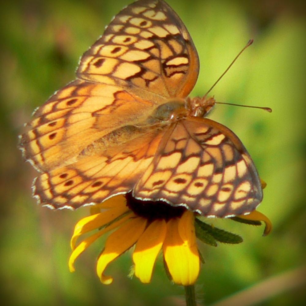 Variegated Fritillary by ... | Dirt Road Heaven Gallery