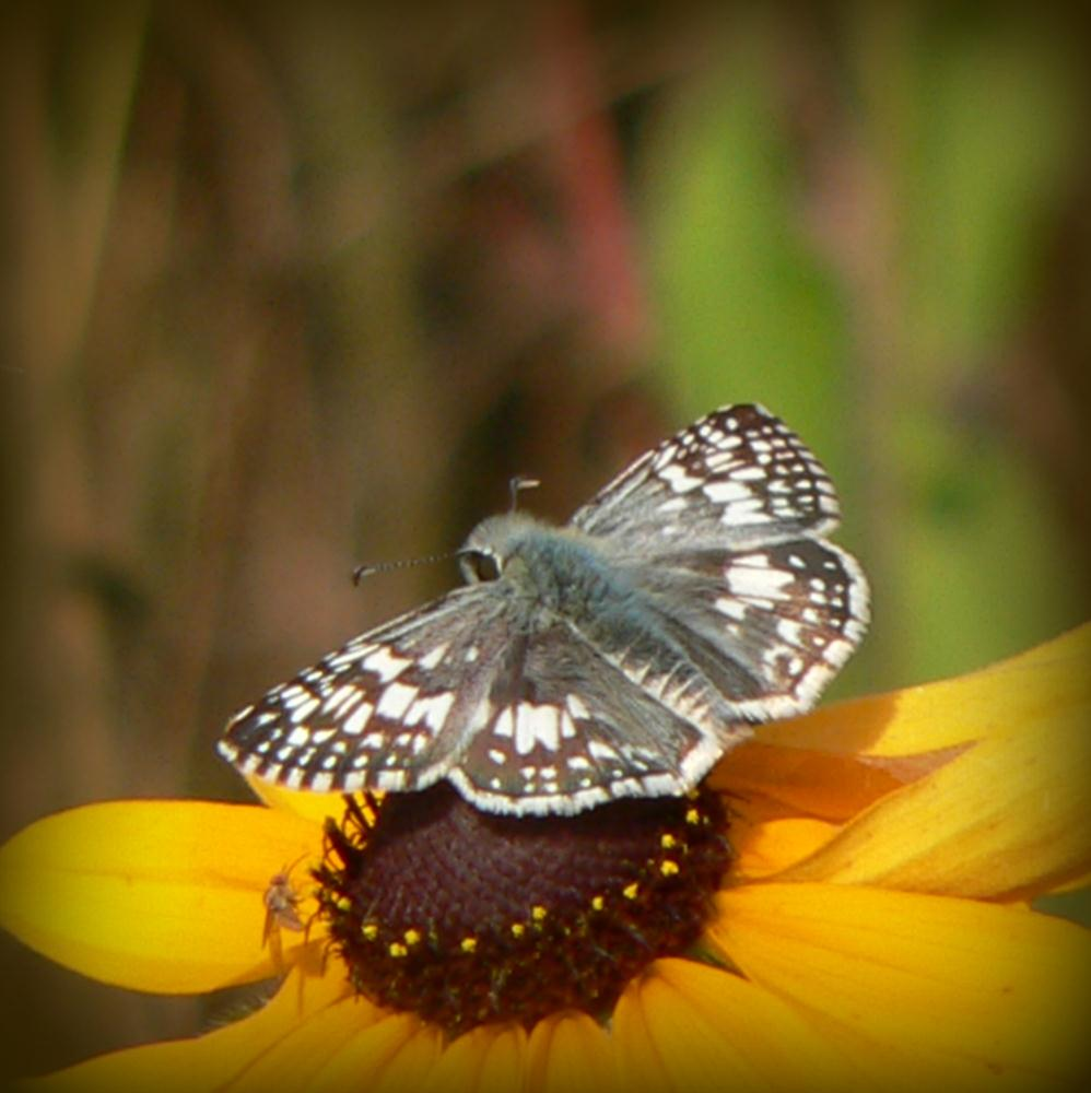 Mexican White Skipper | Dirt Road Heaven Gallery