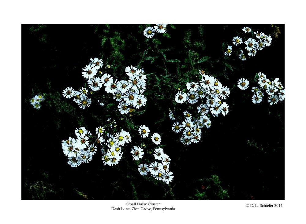 White Daisy Cluster | Doug's Art & Photography