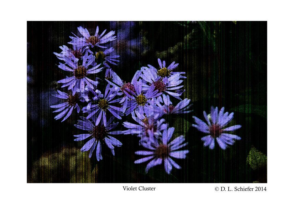 Violet Daisy Cluster | Doug's Art & Photography