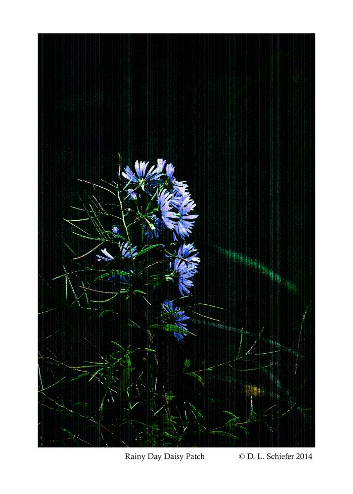 Rainy Day Daisy Cluster | Doug's Art & Photography