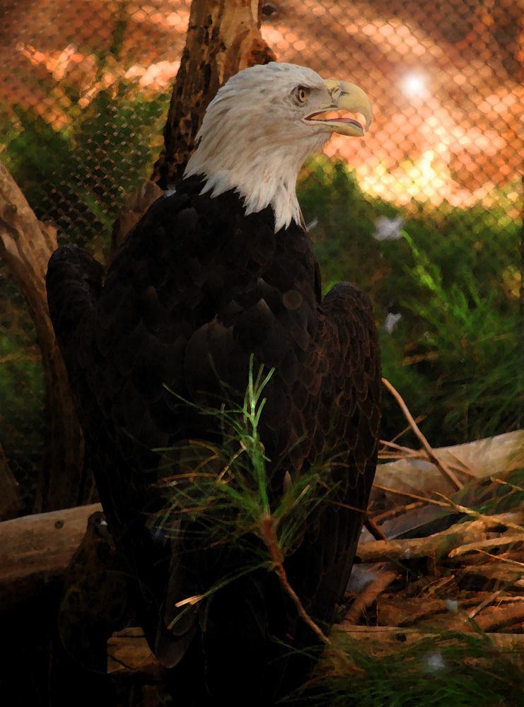 Eagle | Photos by Pinta