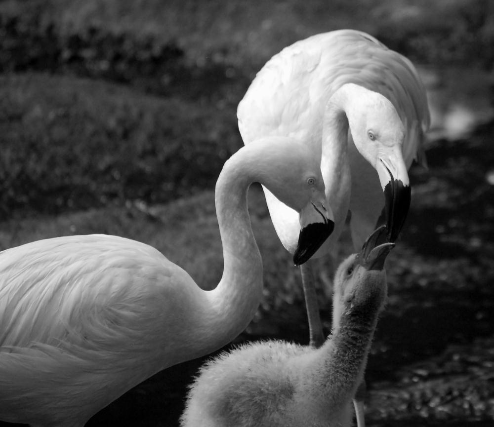 Flamingo Family BW | Photos by Pinta