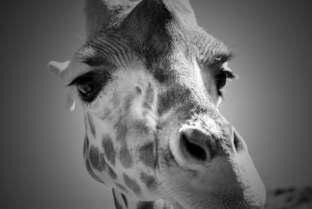 Giraffe BW | Photos by Pinta