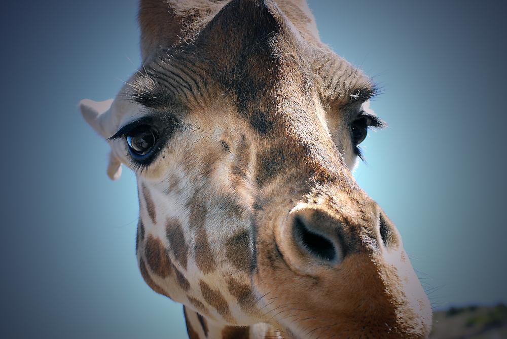 Giraffe | Photos by Pinta