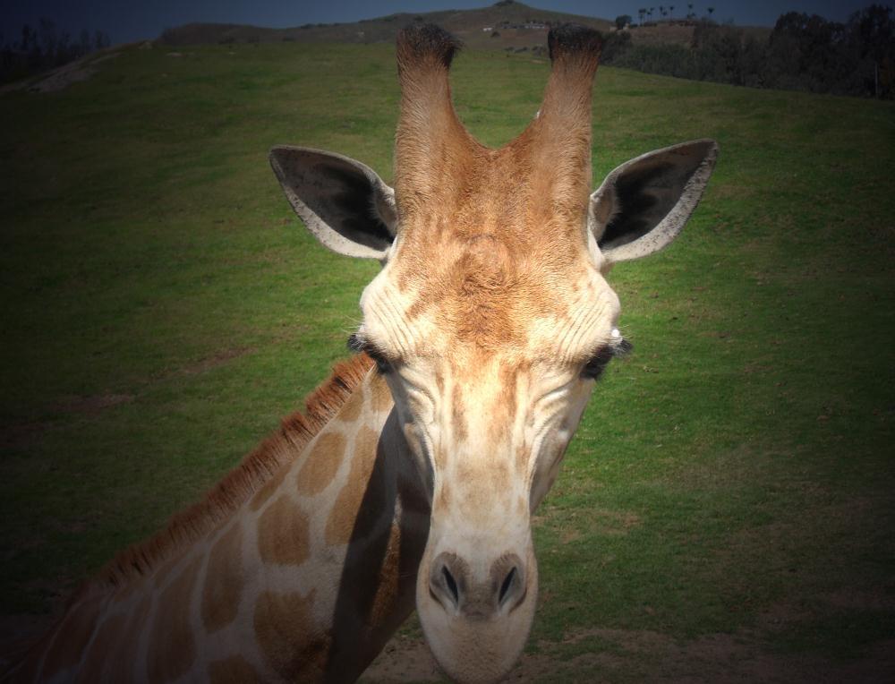 Giraffe Profile | Photos by Pinta