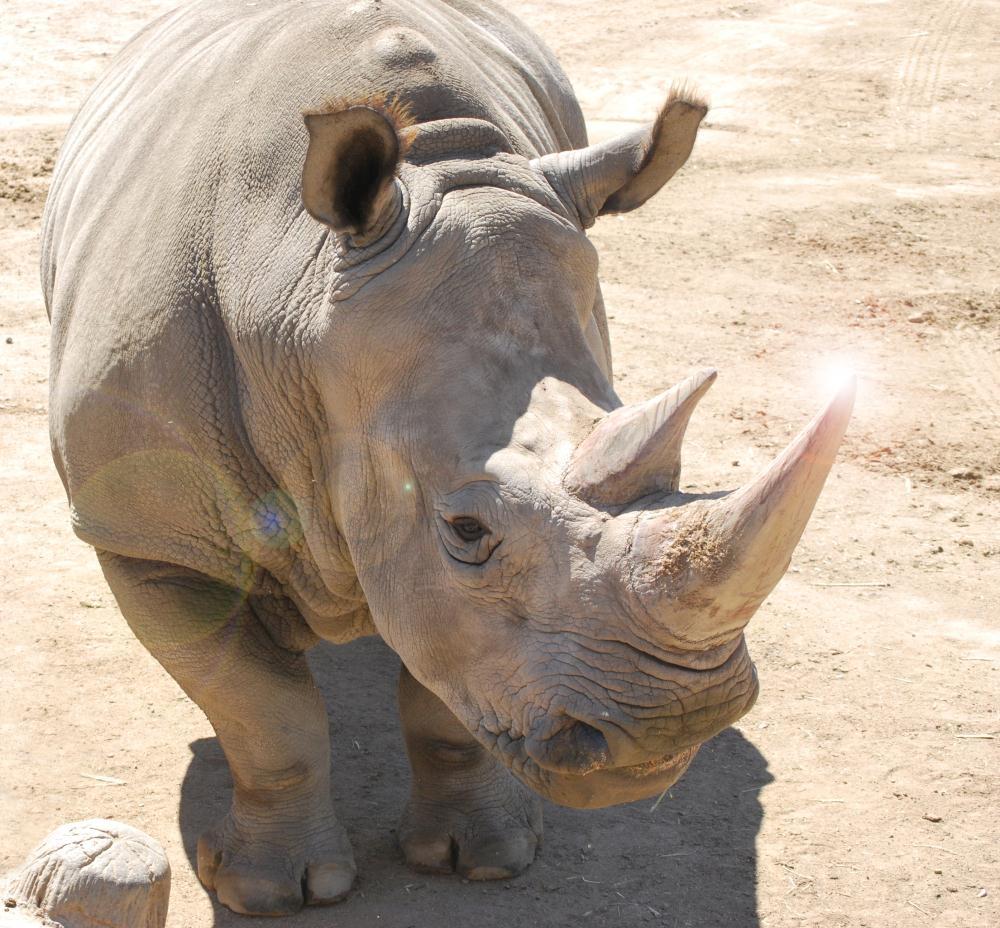 Rhino | Photos by Pinta