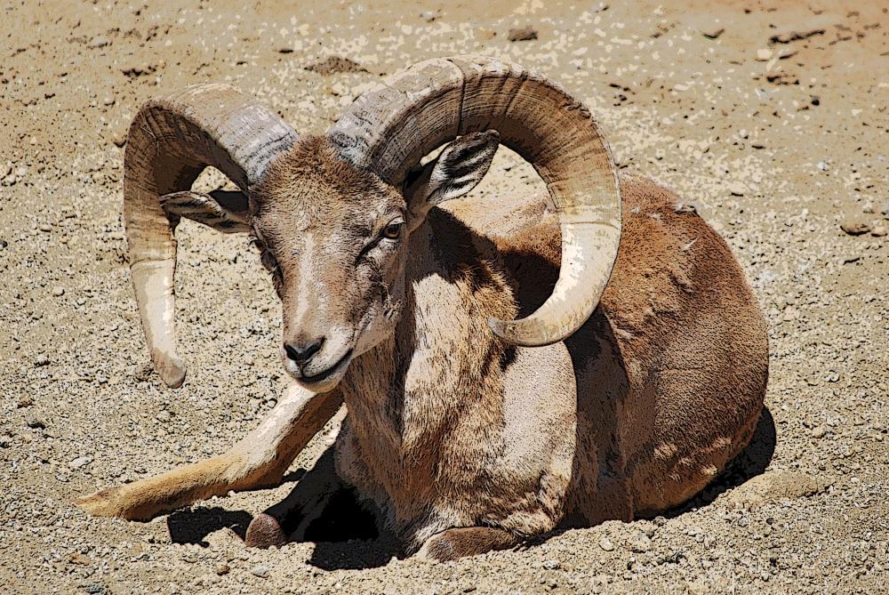 Ram | Photos by Pinta