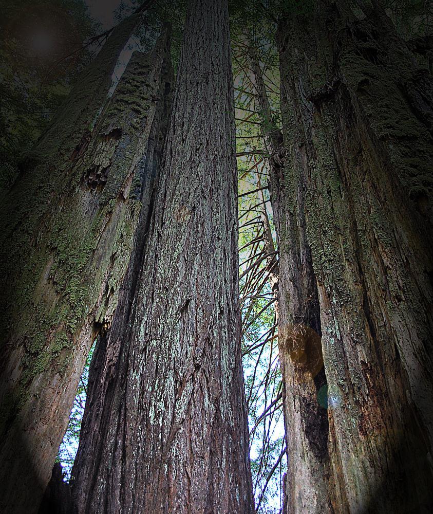 Redwoods | Photos by Pinta