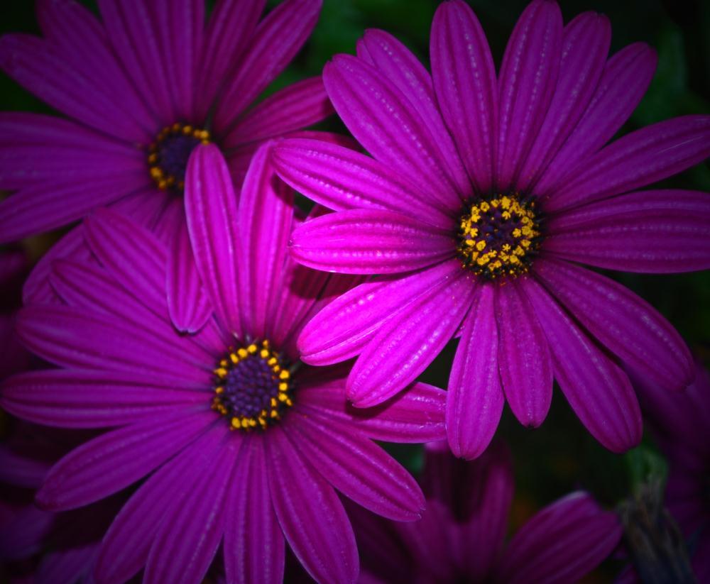 Purple Mums | Photos by Pinta