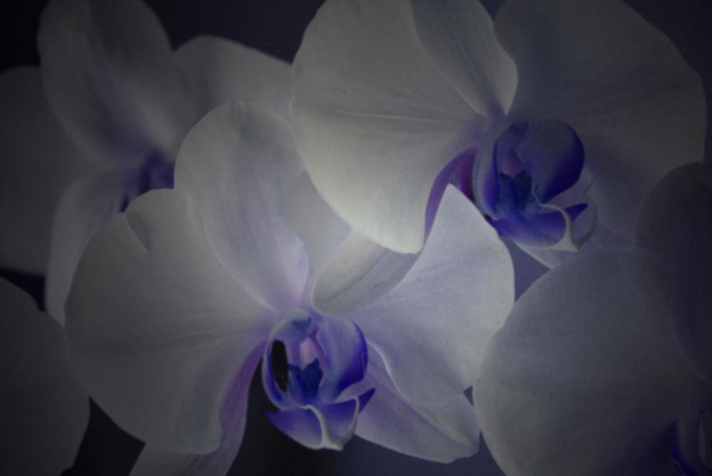 White Orchids | Photos by Pinta